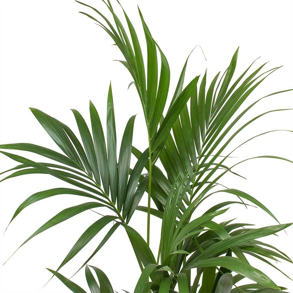 Howea forsteriana Kentia Palm 27 x 150cm in 2020