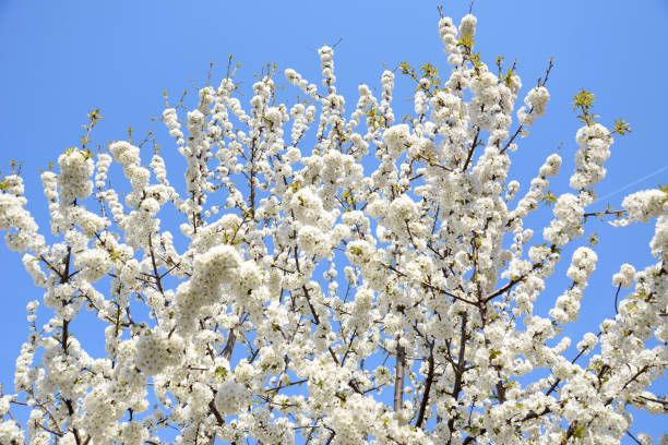 blossoming cherry tree white flowers on sky background