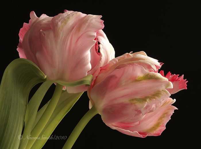Pink Parrot Tulip Flowers Tulips