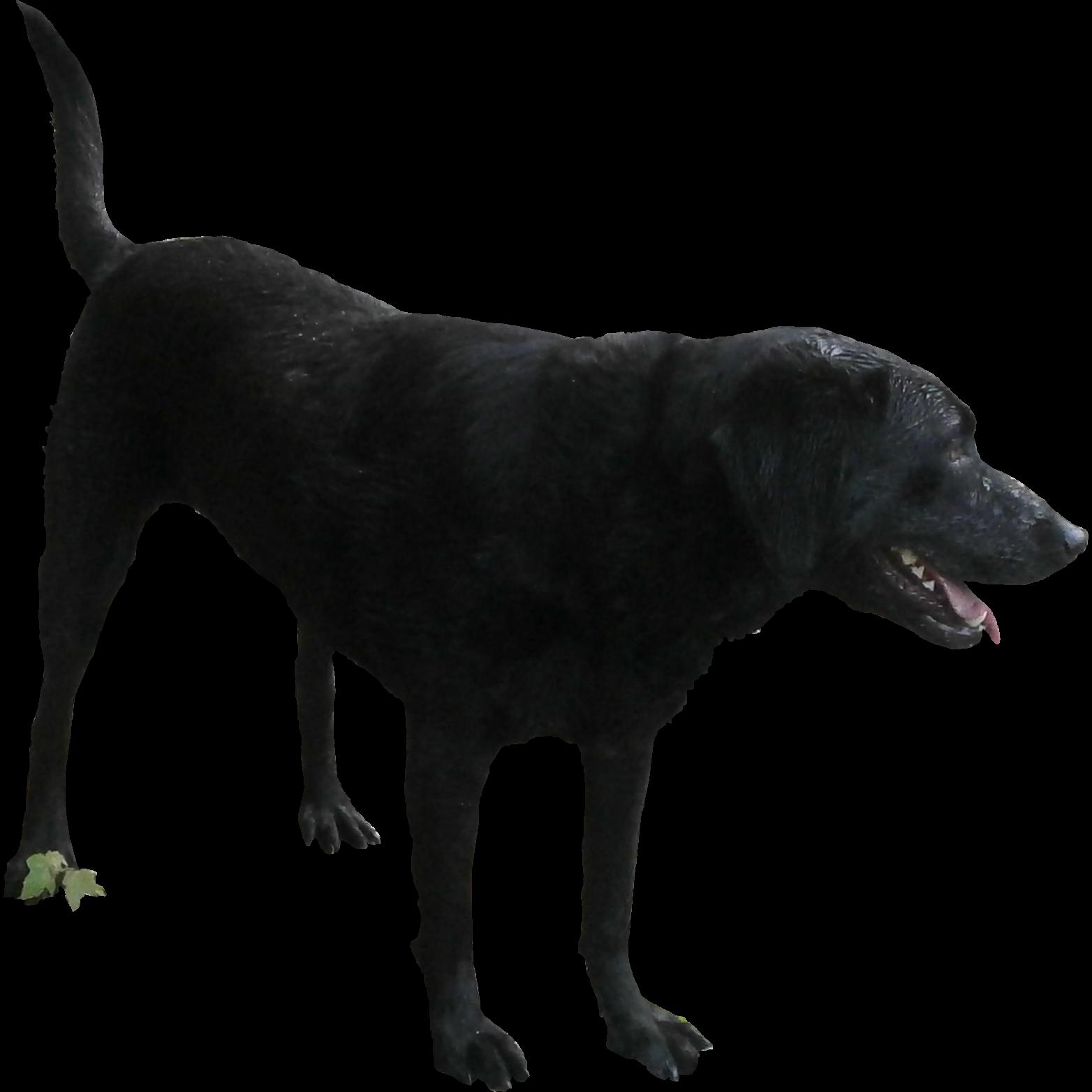 Black Labrador Free Cutout Black Labrador Animals Images Photoshop Images