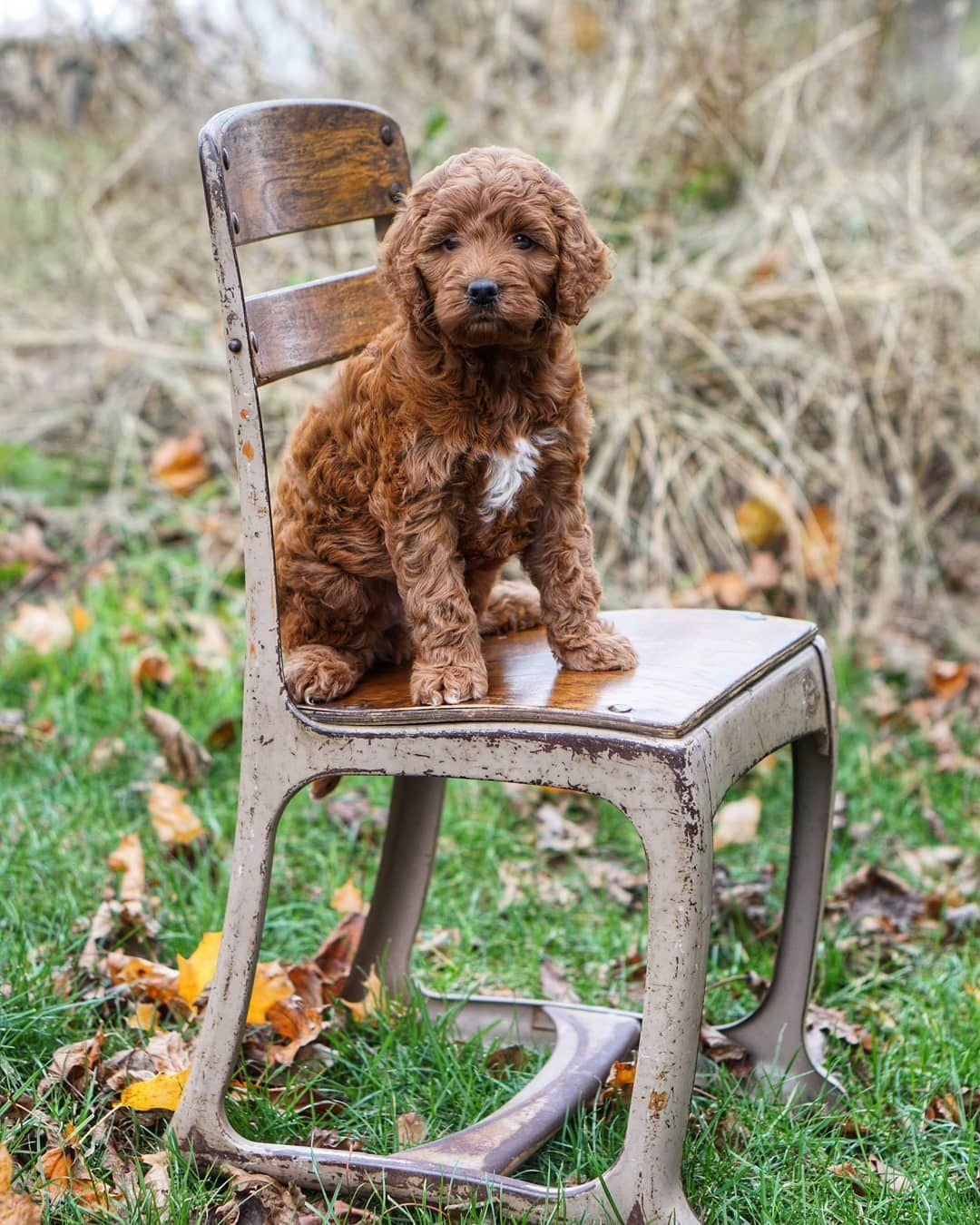 Look Who Is 6 Weeks Old Today Miniirishdoodle Dogsofinstagram Puppiesofinstagram Puppytales Doodletales Rowandoodles To Irish Doodle Dog Photos Puppies