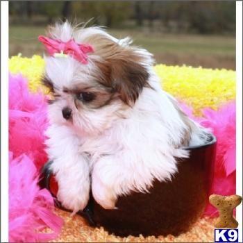 My Next Pupppy Imperial Teacup Shih Tzu Shih Tzu Puppy Shih