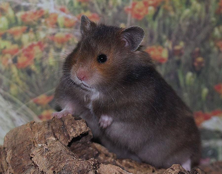 Golden Umbrous LH Pet mice, Cute hamsters