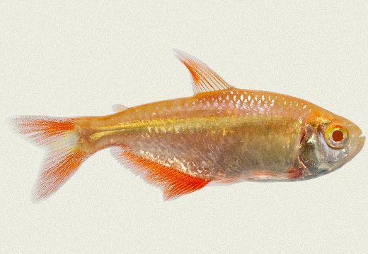 Albino Buenos Aires Tetra Aquarium Fish Freshwater Aquarium Fish Tetra Fish