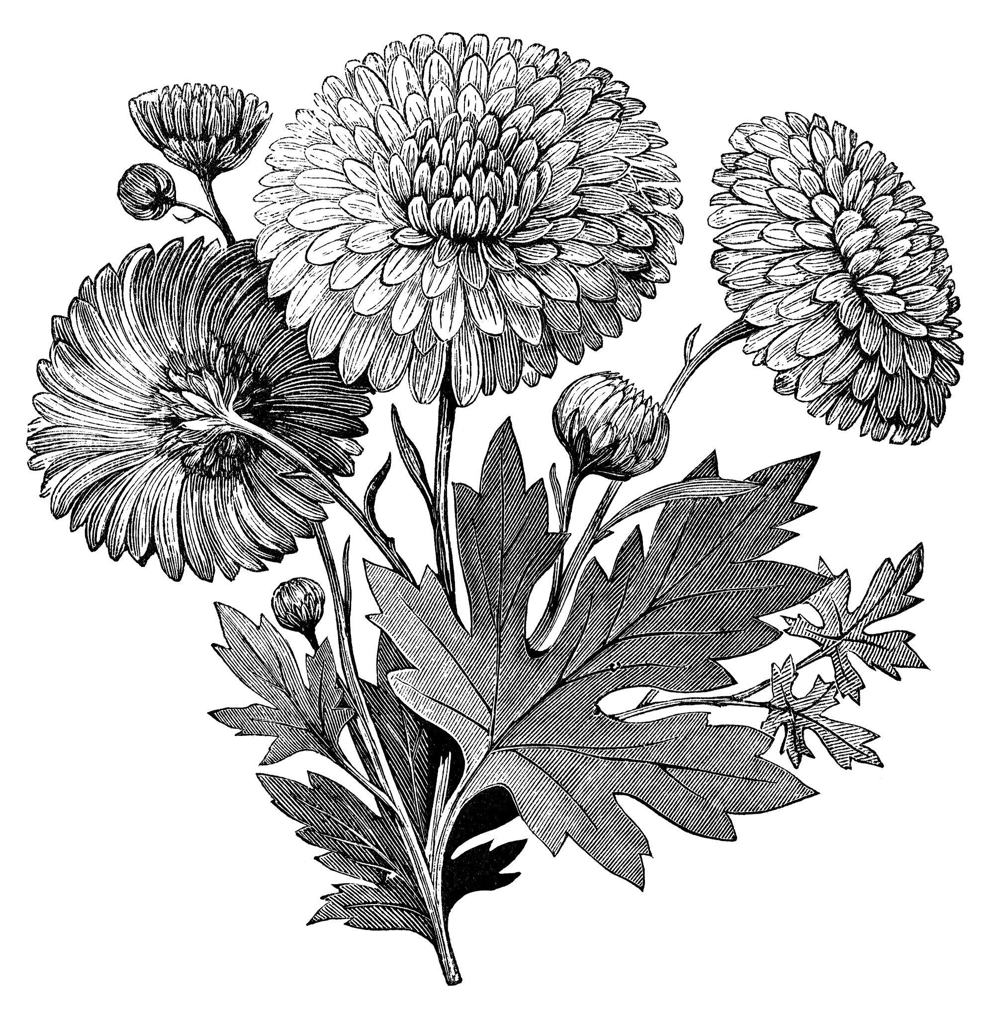 Vintage flower clipart early flowering chrysanthemum chrysanthemum