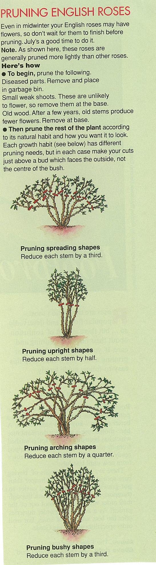 Pruning english roses garden pinterest english roses gardens