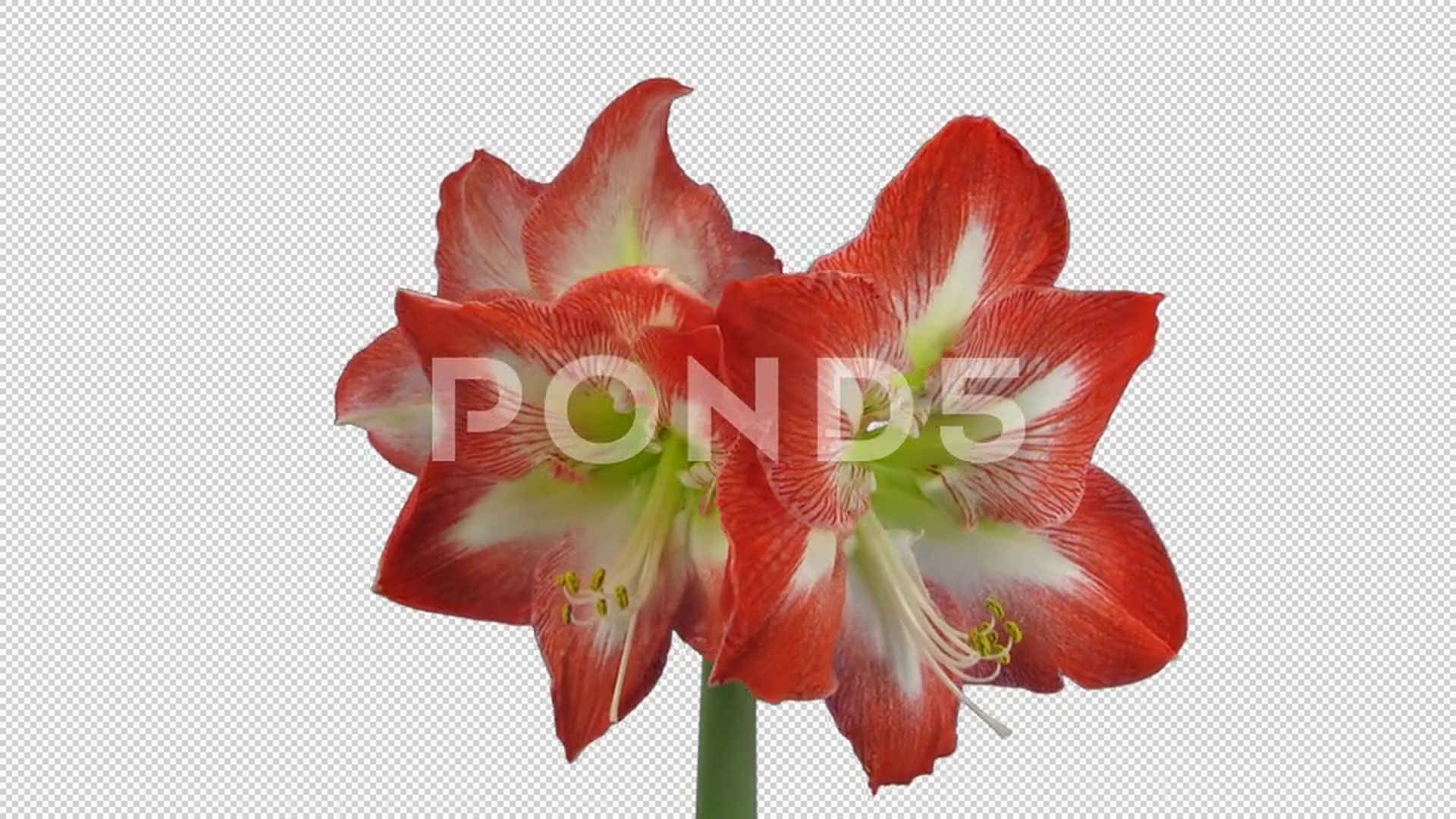 Growing And Rotating Minerva Amaryllis Flower 5b1 With Alpha Channel Stock Footage Amaryllis Flower Minerva Gr Amaryllis Flowers Amaryllis Amaryllis Christmas