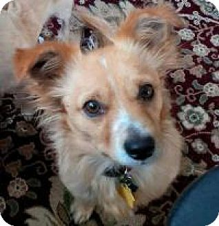 Seattle Wa Corgi Tibetan Spaniel Mix Meet Jackson A Dog For