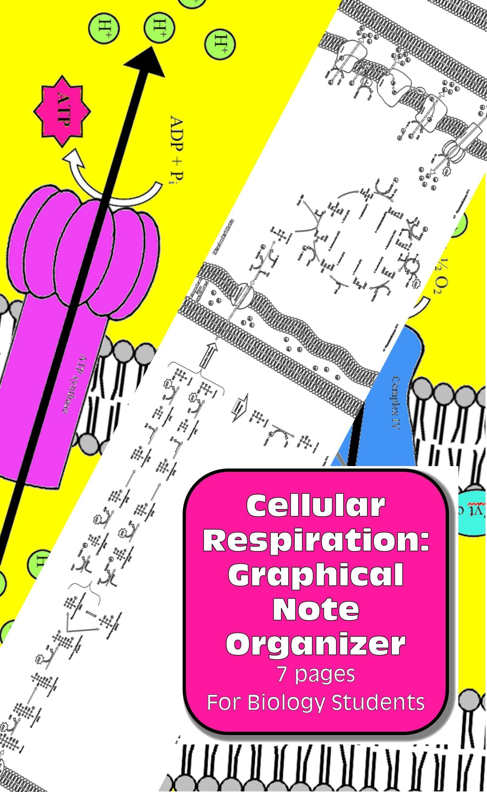 Cellular Respiration Diagram Amp Graphic Note Organizer For