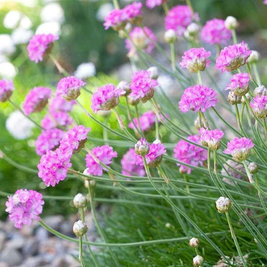 Die Schönsten Gräser Für Den Garten grasnelke zarte schönheiten garten stauden pflanzen gräser