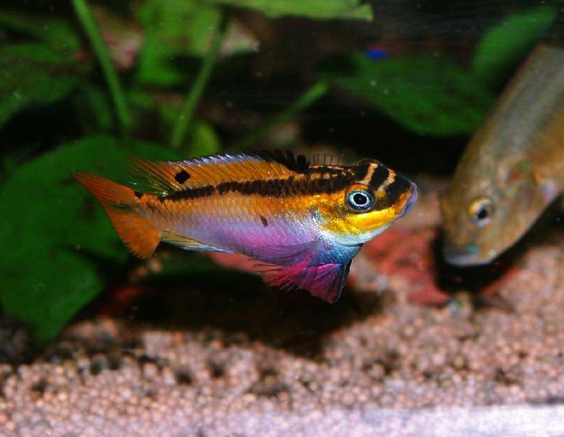 Pelvicachromis taeniatus kienke west african dwarf for African freshwater fish