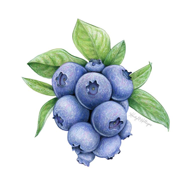 40 Blueberry Ideas Blueberry Organic Blueberries Watercolor Fruit