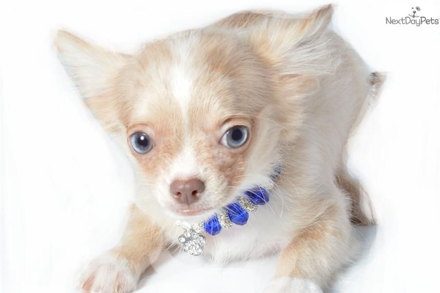 Rare Lavender Breeds Of Chihuahua Chihuahua Puppy For Sale
