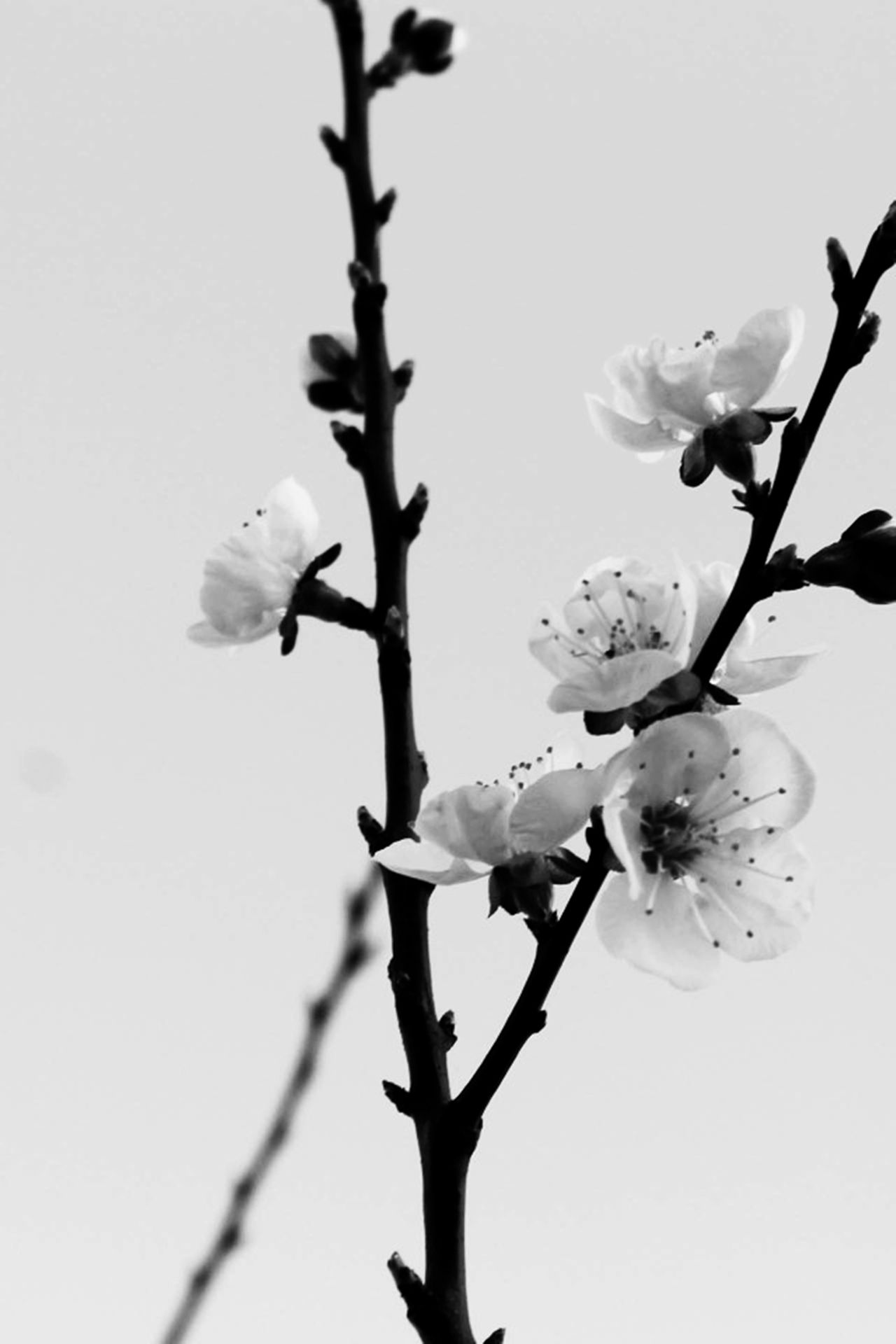 Cherry Blossom Branch in B&W   Black and white flowers ...