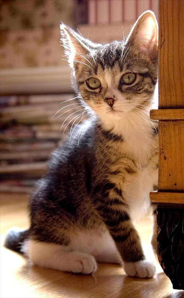 """""""There's no more intrepid explorer than a kitten."""" --Jules Champfleury"""