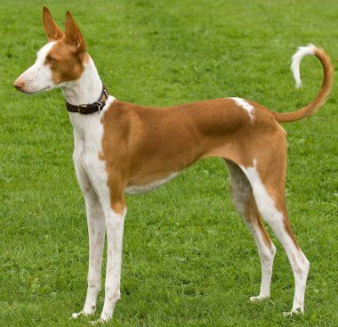 Ibizan Hound Dog Breed Information Ibizan Hound Hound Dog