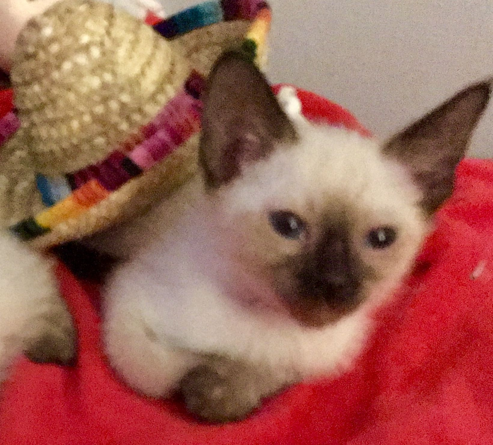 Siamese Cats For Sale Reading, PA Siamese cats for