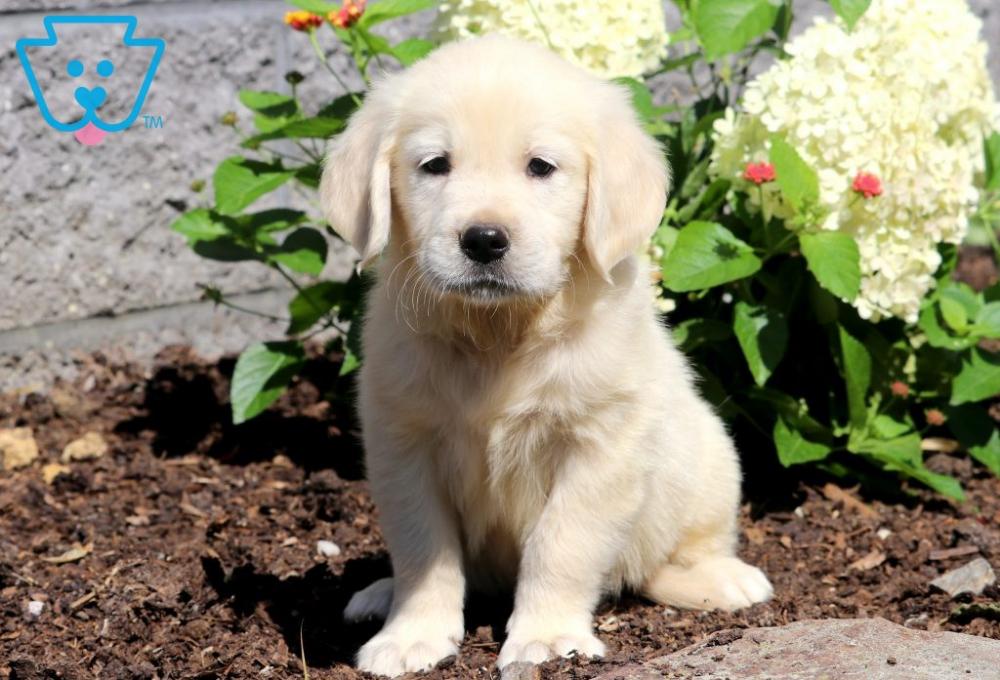 Braxton Golden Retriever English Cream Puppy For Sale