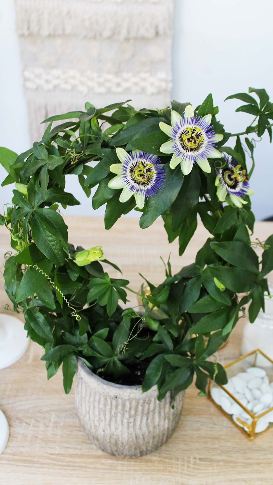 Passiflora Flowers Delivery In 2020 Passiflora Flower Delivery Plants