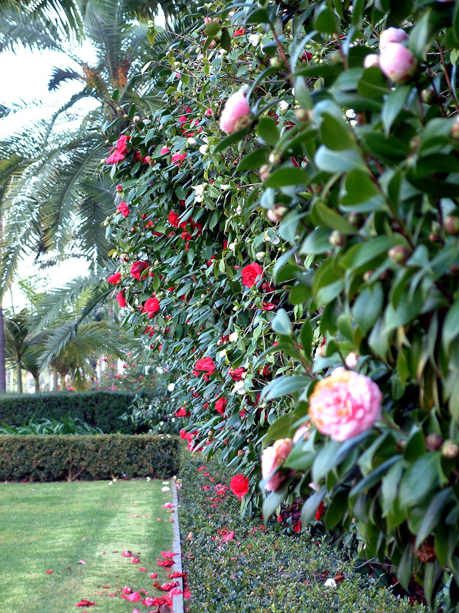 Camellias Can Be Used As An Espalier Hedge A Bush Or A Tree Form Different Sizes And Colors Likes Shade Regular Water Ac Shade Plants Plants Garden Shrubs