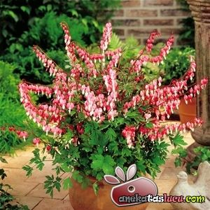 Bunga Bleeding Heart Nan Menawan Sekaligus Memilukan Bulb Flowers Plants Bleeding Heart