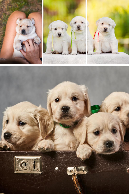 Puppy Labrador Labrador Retriever Dog Puppies Photographs In 2020 Labrador Labrador Retriever Puppies Labrador Dog