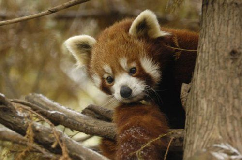 animals, cute, red panda