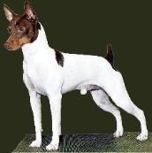 Rat Terrier Puppies For Sale In Tennessee Show Dogs Agility