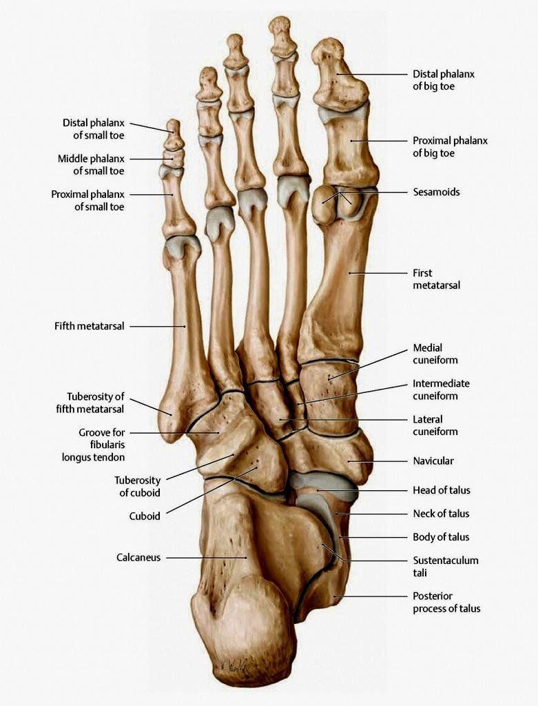 fot anatomi bilder