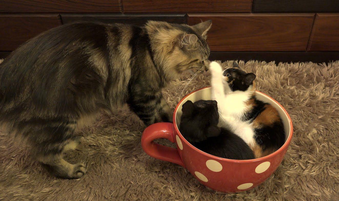 カップに入る子猫が気になるおさむ