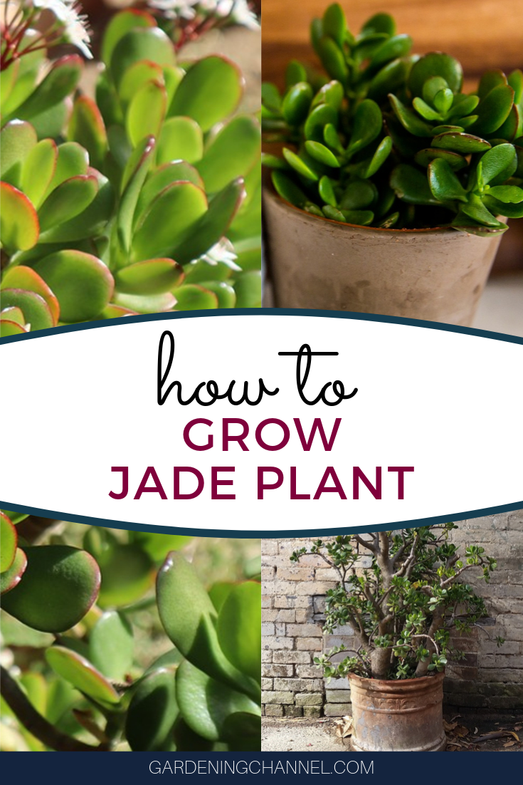 The Jade Plant Also Called Money Plant Represents Good Luck And Financial Prosperity Learn How To Grow Jade Tree Container Herb Garden Jade Plants Jade Tree