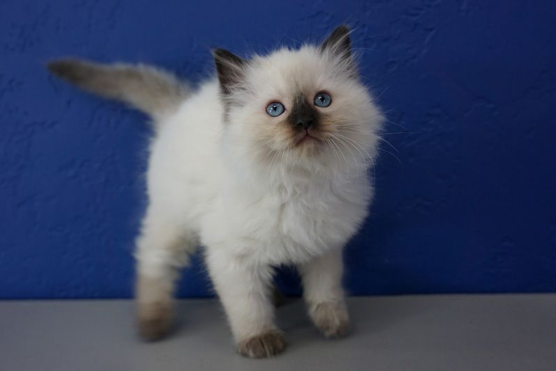 Ragdoll Kittens For Sale Near Me Buy Ragdoll Kitten Ragdoll Kitten Ragdoll Kittens For Sale Ragdoll Cat