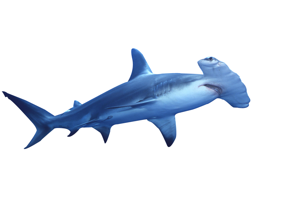 hammerhead shark clip art sea animals clip art pinterest rh pinterest com