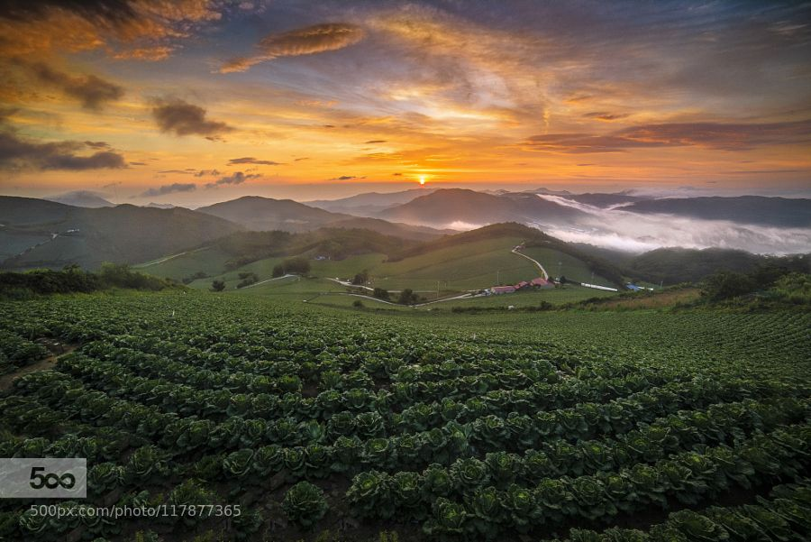 Summer of anbandegi - Pinned by Mak Khalaf Cabbage field in anbandegi. Landscapes cabbagecabbage patchgreenkoreamorningsummersunsunrise강원도배추밭안반덕cabbage fieldfieldhillsclouds운해 by rjyoun09