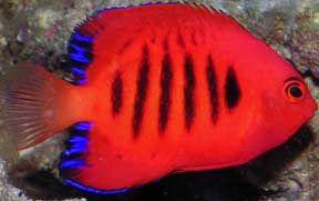 dwarf saltwater angelfish flame angel centropyge loricula fish