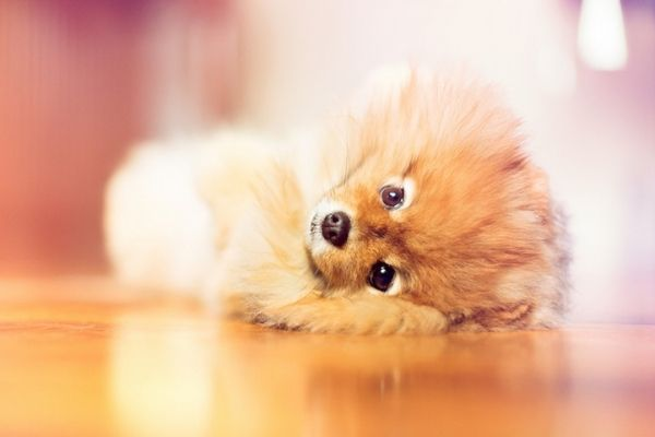 Flint The Pomeranian Makes Some Pretty Cute Dog Pictures 画像あり