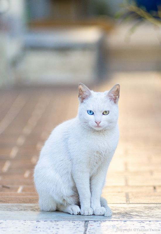 White Beauty By Yassine Yacine Khao Manee Cats Are Royal Cat