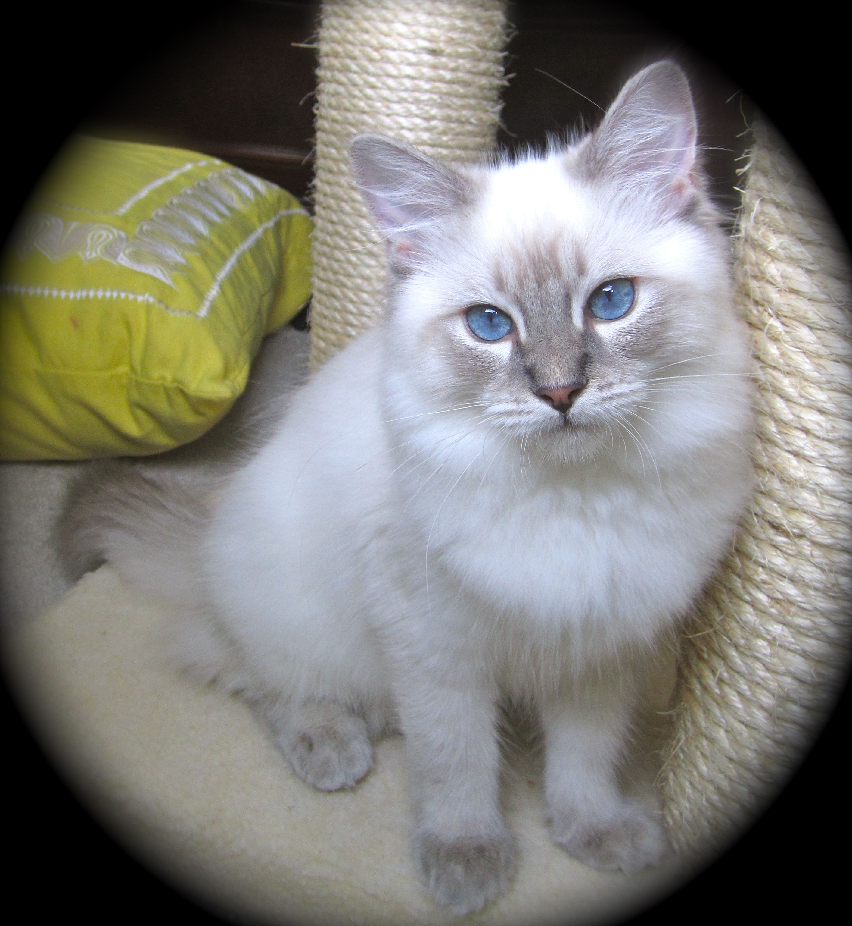 Ragdoll Kitten Blue Lynx Baby Cats Cats Ragamuffin Cat