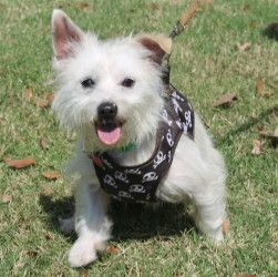 Adopt Victor On Petfinder Westie Dogs Dogs And Kids West Highland White Terrier