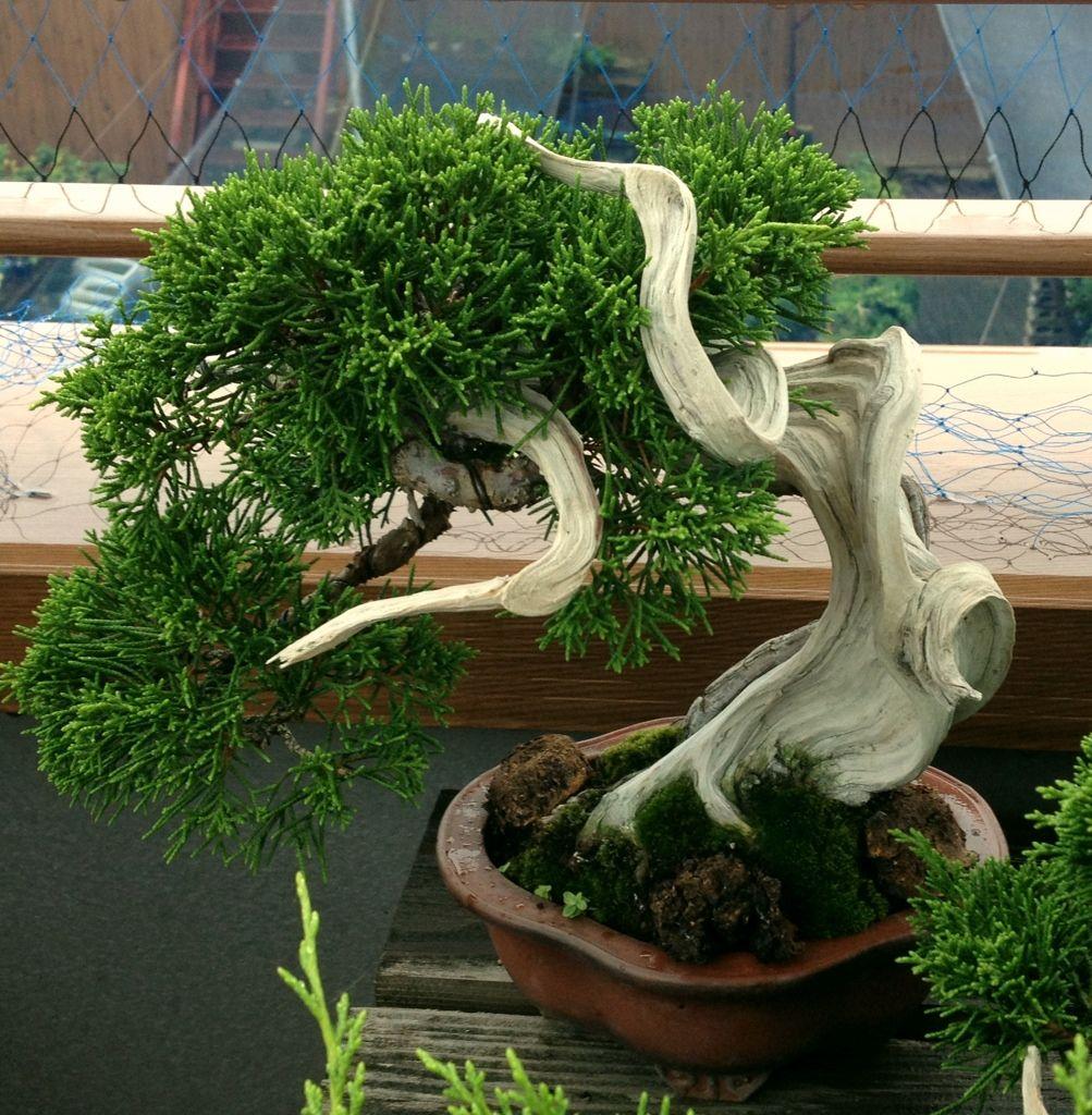 shohin shimpaku bonsai