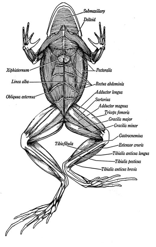 Anatomy Of A Frogs Muscles Anatomy Anatomy Art Anatomy Drawing