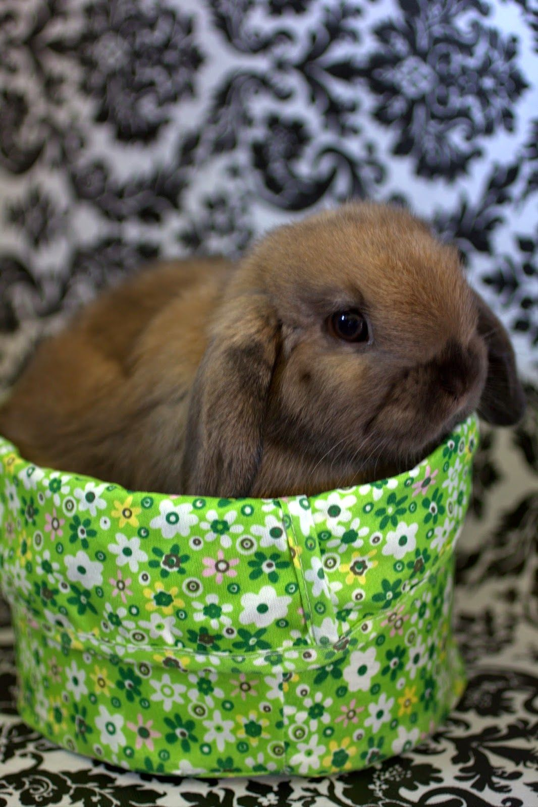 Meet our new Holland Lop Mr. Fluffington! for the kids