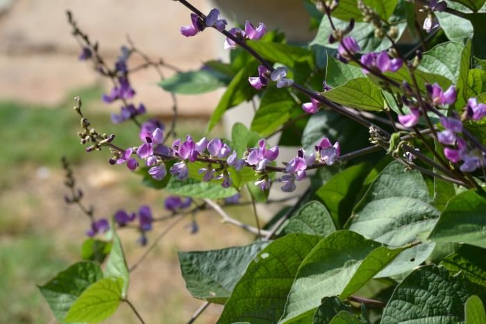 Alternatives To Ivy Vertical Growers Gardenista Hyacinth Bean Vine Ivy Plants Light Purple Flowers
