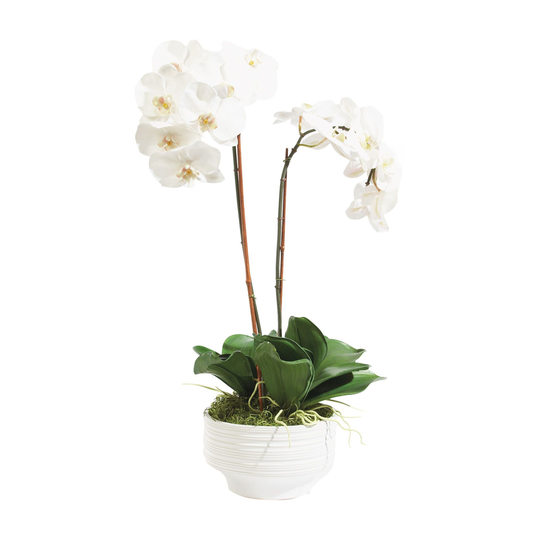 White Orchid In Ceramic Pot Florals Trees White Orchids Ceramic Pot Orchids