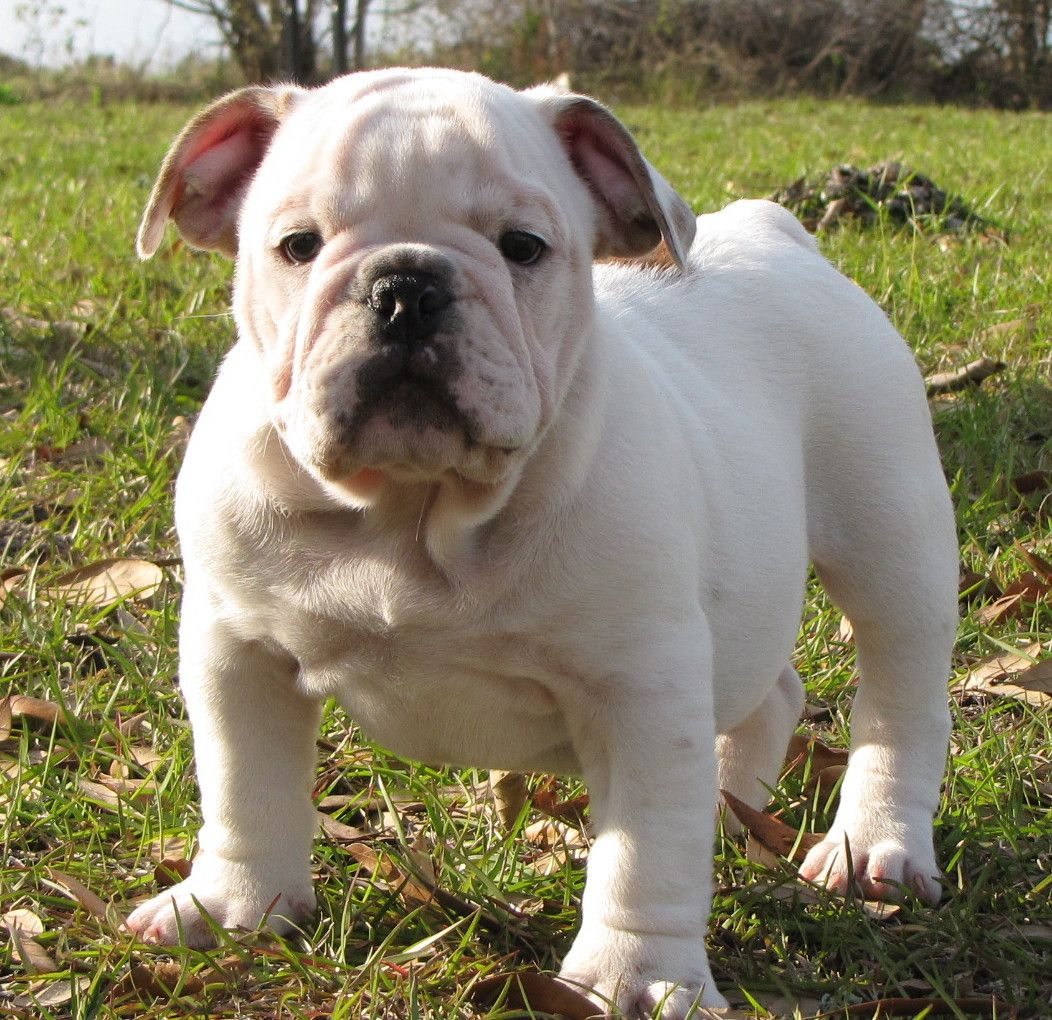 An English Bulldog Puppy Named Toby Bully Babies English