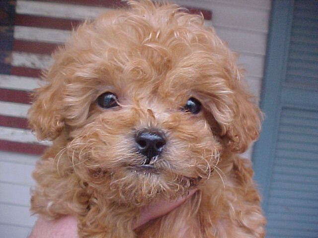 Miniature Toy Poodles Illinois Breeder Toy Poodle Puppies
