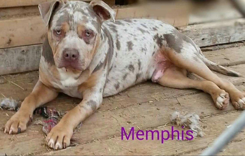 Beautiful Tri Color Merle Pitbull Pitbull Puppies Merle Pitbull