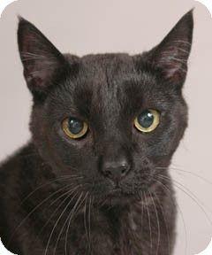 Chicago, IL Domestic Shorthair. Meet Celia a Cat for