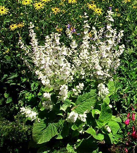 Salvia sclarea Vatican White