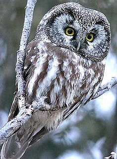 Owls Pictures (37) by al7n6awi, via Flickr